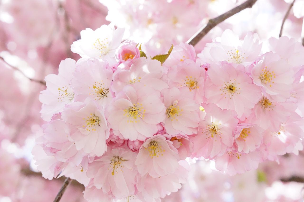 桜の写真:アイキャッチ